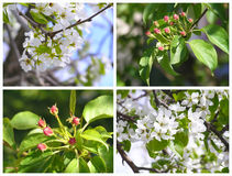 Flores rosadas del manzano Imágenes de archivo libres de regalías