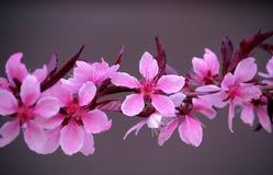 Flores rosadas del melocotón imagenes de archivo