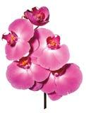 Flores rosadas del orchide Foto de archivo libre de regalías