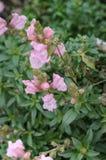 Flores rosadas del otoño Imagenes de archivo