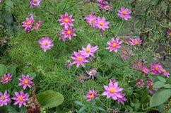 Flores rosadas del otoño Imagen de archivo