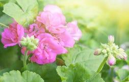 Flores rosadas del Pelargonium Imagen de archivo libre de regalías