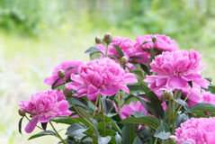 Flores rosadas del peony Foto de archivo libre de regalías