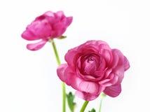 Flores rosadas del peony Fotos de archivo libres de regalías