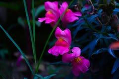 flores rosadas del perro Foto de archivo