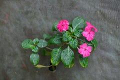 Flores rosadas del polemonio con con lluvia imagen de archivo libre de regalías