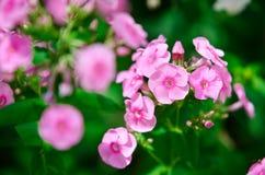 Flores rosadas del polemonio en un fondo verde Fotos de archivo