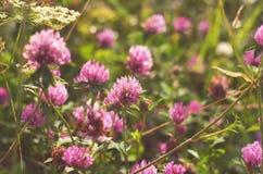 Flores rosadas del trébol en prado Fotos de archivo libres de regalías