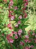Flores rosadas del wagel en jardín flores del wagel del arbusto Foto de archivo libre de regalías