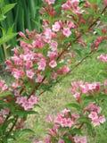 Flores rosadas del wagel en jardín flores del wagel del arbusto Imagen de archivo