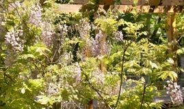 Flores rosadas del wistaria Foto de archivo libre de regalías