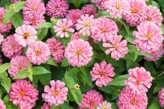 Flores rosadas del Zinnia del flor fotografía de archivo