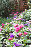 Flores rosadas del zinnia en jardín Fotografía de archivo libre de regalías