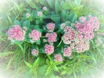 Flores rosadas delicadas Imagen de archivo libre de regalías