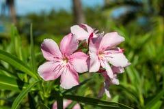 Flores rosadas delicadas Fotos de archivo