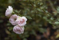Flores rosadas delicadas en fondo verde Foto de archivo