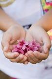 Flores rosadas disponibles de las flores de cerezo Fotos de archivo libres de regalías