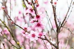 Flores rosadas en árbol de melocotón Imágenes de archivo libres de regalías
