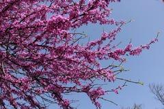 Flores rosadas en braches del cercis contra el cielo Imagen de archivo libre de regalías