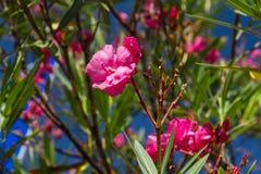 Flores rosadas en Bush Imagen de archivo libre de regalías