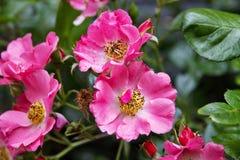 Flores rosadas en Bush Fotografía de archivo