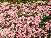 Flores rosadas en Chiang Rai Fotografía de archivo