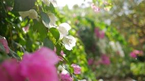 Flores rosadas en el árbol contra Sun durante la pequeña lluvia Fondo floral a cámara lenta de HD con la llamarada hermosa de la  almacen de metraje de vídeo