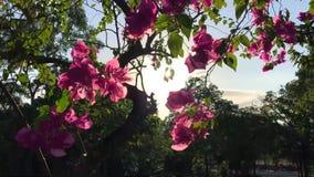 Flores rosadas en el árbol contra Sun y el cielo azul en el parque Fondo floral a cámara lenta de HD metrajes