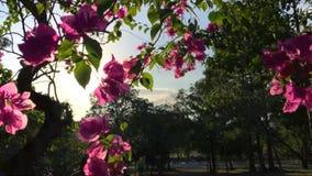 Flores rosadas en el árbol contra Sun y el cielo azul en el parque Fondo floral a cámara lenta de HD almacen de video