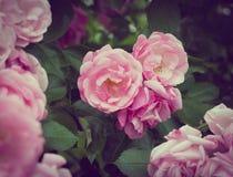 Flores rosadas en el arbusto color de rosa en el jardín, tiempo de verano Imagenes de archivo