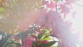 Flores rosadas en el arbusto con las hojas verdes
