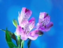 Flores rosadas en el fondo azul. imagenes de archivo