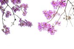 Flores rosadas en el fondo blanco Fotografía de archivo libre de regalías