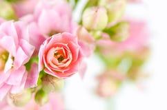 Flores rosadas en el fondo blanco, blossfeldiana de Kalanchoe Imagen de archivo libre de regalías