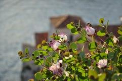 Flores rosadas en el fondo de la ciudad vieja y del mar adriático en Budva, Montenegro Foto de archivo