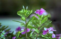 Flores rosadas en el jardín Foto de archivo libre de regalías