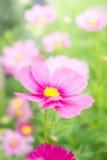 Flores rosadas en el jardín, luz del sol hermosa i de las flores del cosmos fotos de archivo