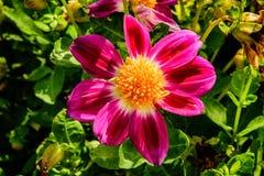 Flores rosadas en el jardín en el país Fotos de archivo libres de regalías