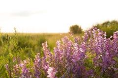 Flores rosadas en el prado Fotografía de archivo libre de regalías