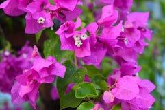 flores rosadas en jardín Fotos de archivo libres de regalías
