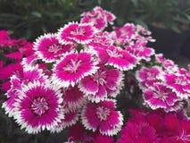 flores rosadas en jardín Imagen de archivo