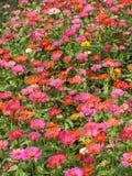 Flores rosadas en la floración Imágenes de archivo libres de regalías