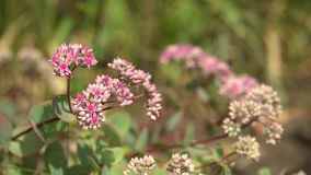 Flores rosadas en la forma de la estrella, día soleado Arbustos rosados de flores en jardín o parque almacen de metraje de vídeo