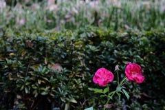 Flores rosadas en la oscuridad Foto de archivo