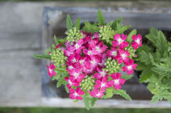 Flores rosadas en la tabla de madera en jardín Imagen de archivo