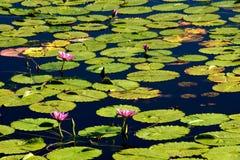 Flores rosadas en los lirios de agua Imagenes de archivo