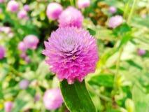 Flores rosadas en mirada hermosa, natural imagen de archivo