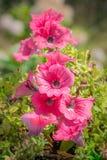 Flores rosadas en puesta del sol Fotos de archivo libres de regalías
