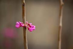 Flores rosadas en resorte Imagen de archivo libre de regalías