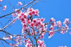 Flores rosadas en Tailandia en fondo del cielo azul Fotos de archivo libres de regalías